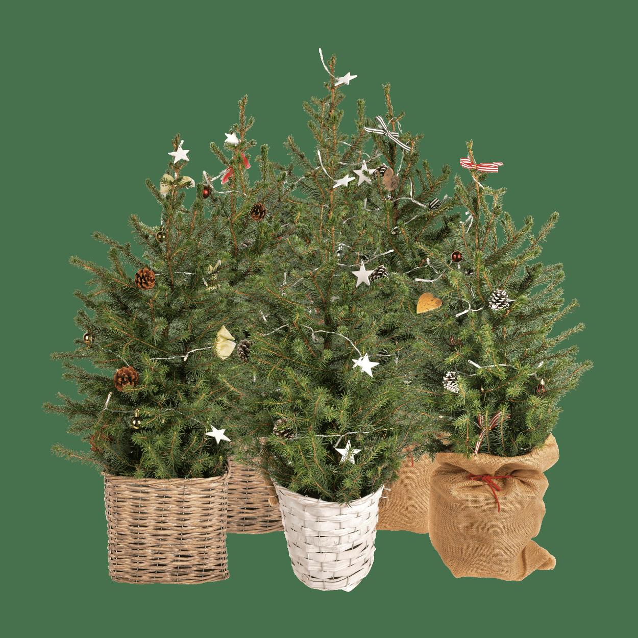 Kerstboom In Pot.Kerstboom In Pot